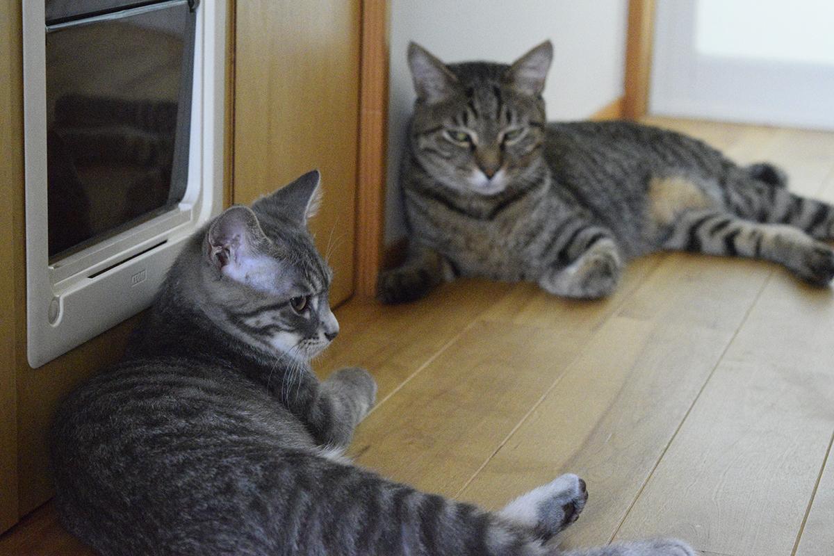 悪そうな顔をしているキジトラ猫の虎ノ介とサバトラ猫の春太