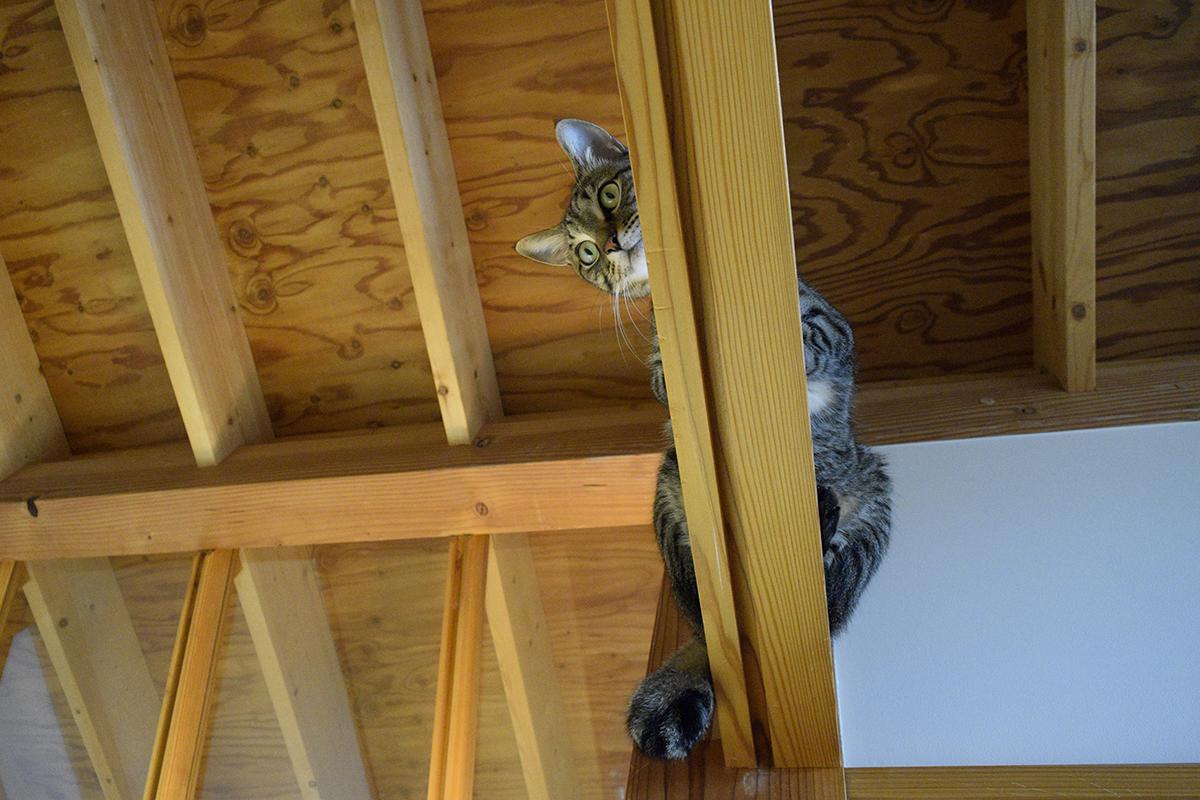 高いところに避難するキジトラ猫の虎ノ介