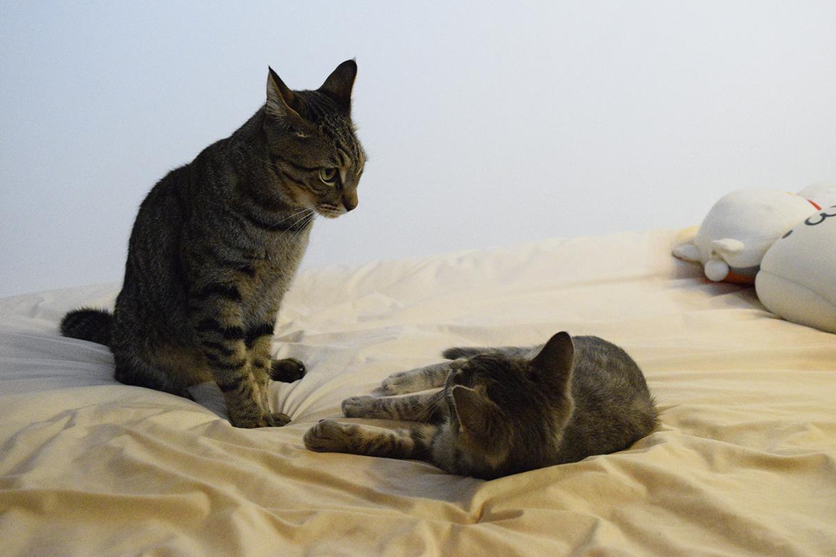 顔を見合わせるキジトラ猫の虎ノ介とサバトラ猫の春太