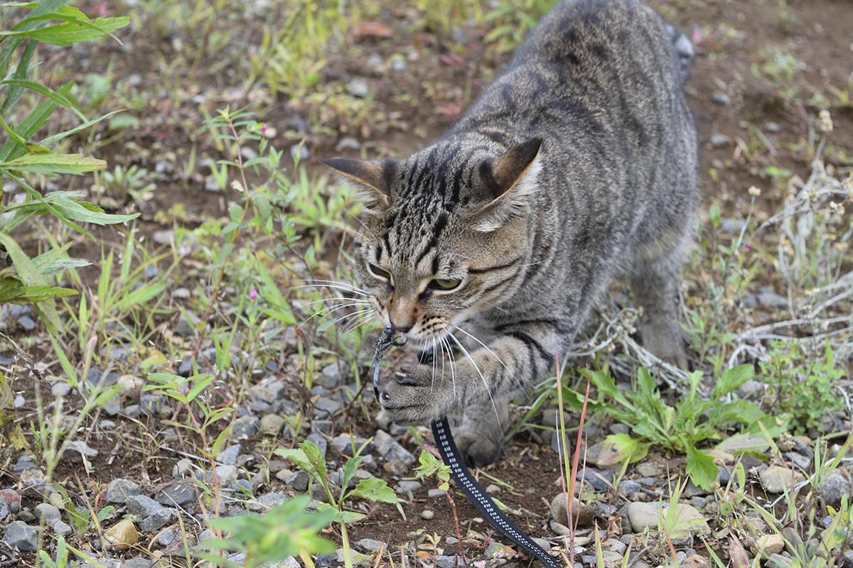 トンボを咥えたキジトラ猫の虎ノ介