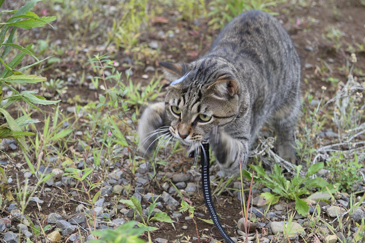 トンボに逃げられたキジトラ猫の虎ノ介