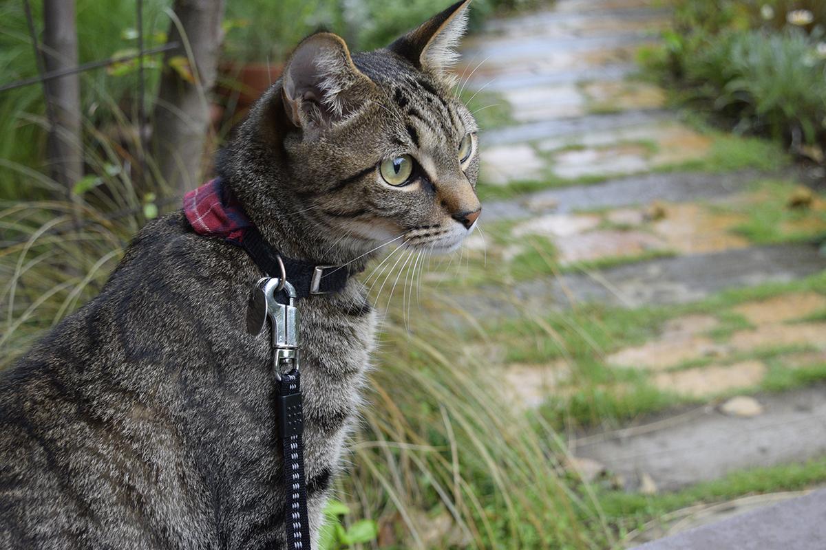雨が降っていて散歩にでるか迷うキジトラ猫の虎ノ介