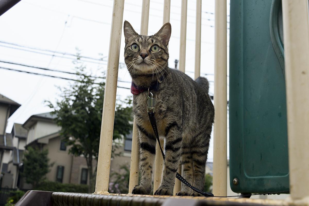 公園の滑り台の上に立つキジトラ猫の虎ノ介
