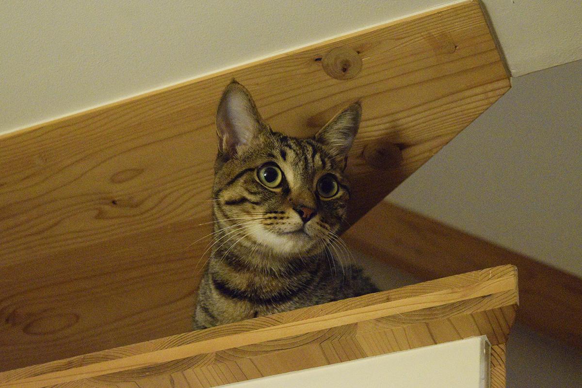 階段からテレビを見つめるキジトラ猫の虎ノ介