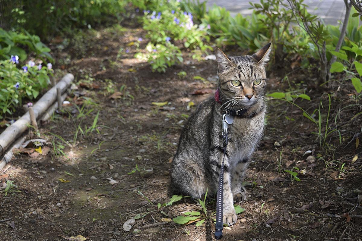 散歩中に木陰で休むキジトラ猫の虎ノ介