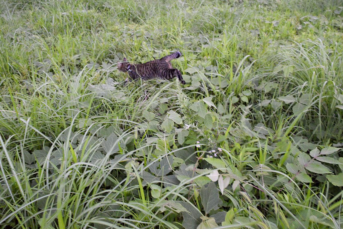 原っぱを走り回るキジトラ猫の虎ノ介