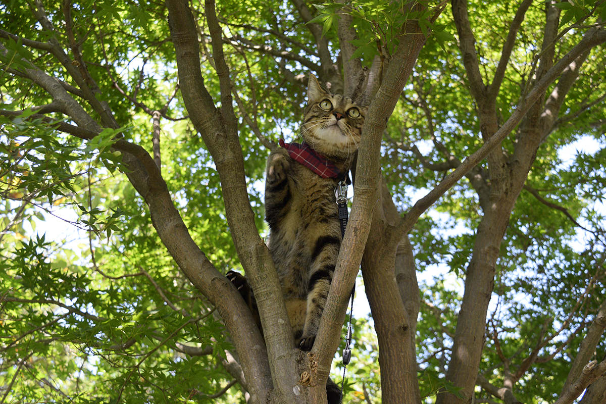 セミを追いかけて木に登ったキジトラ猫の虎ノ介