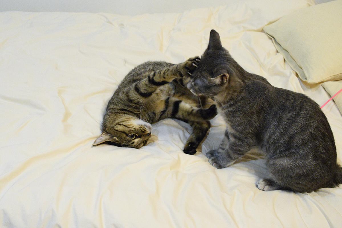 じゃれるキジトラ猫の虎ノ介とサバトラ猫の春太