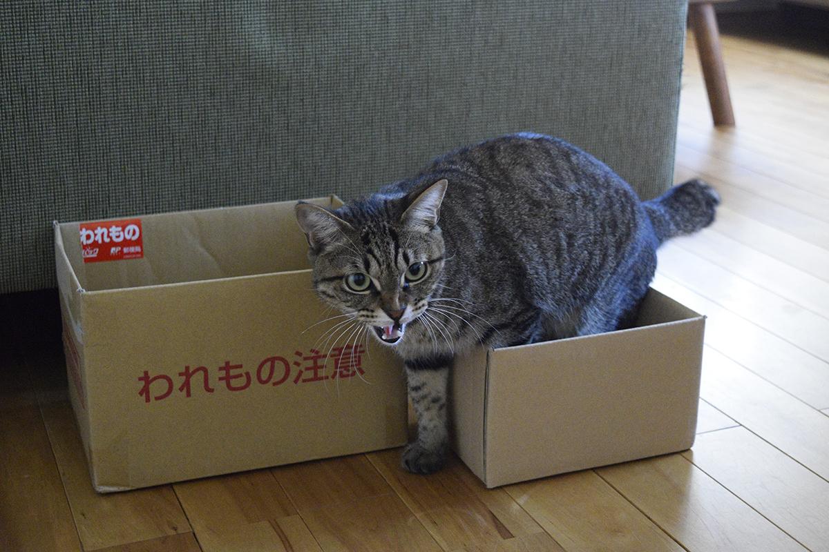 怒るキジトラ猫の虎ノ介