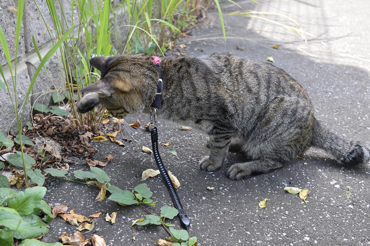 芋虫に襲いかかるキジトラ猫の虎ノ介