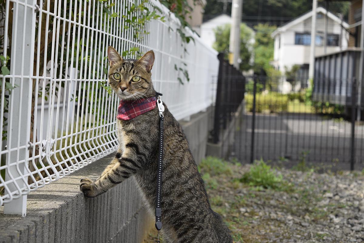 猫さんを探すキジトラ猫の虎ノ介