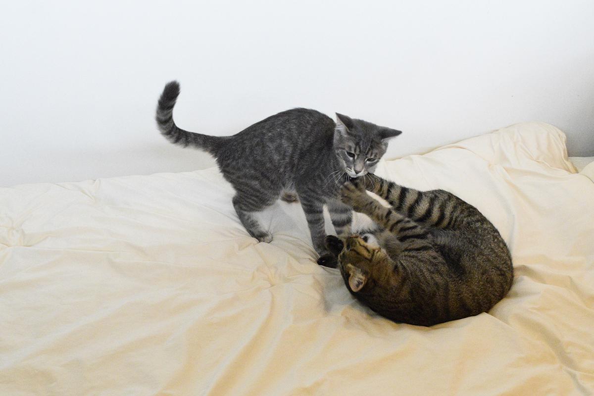 キジトラ猫の虎ノ介にじゃれつくサバトラ猫の春太
