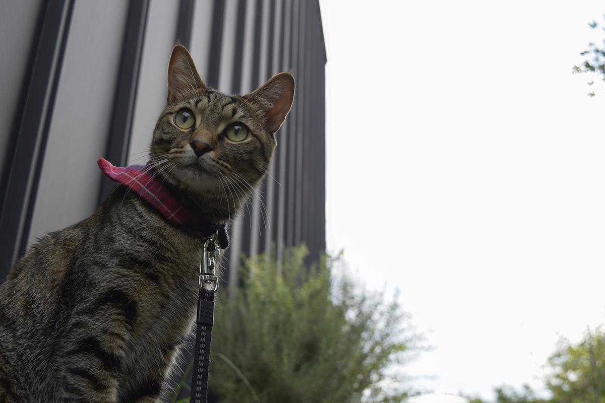 散歩にでかけるキジトラ猫の虎ノ介