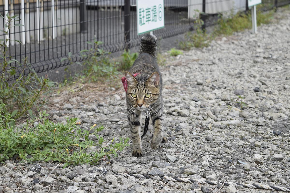 警戒しながらパトロールするキジトラ猫の虎ノ介