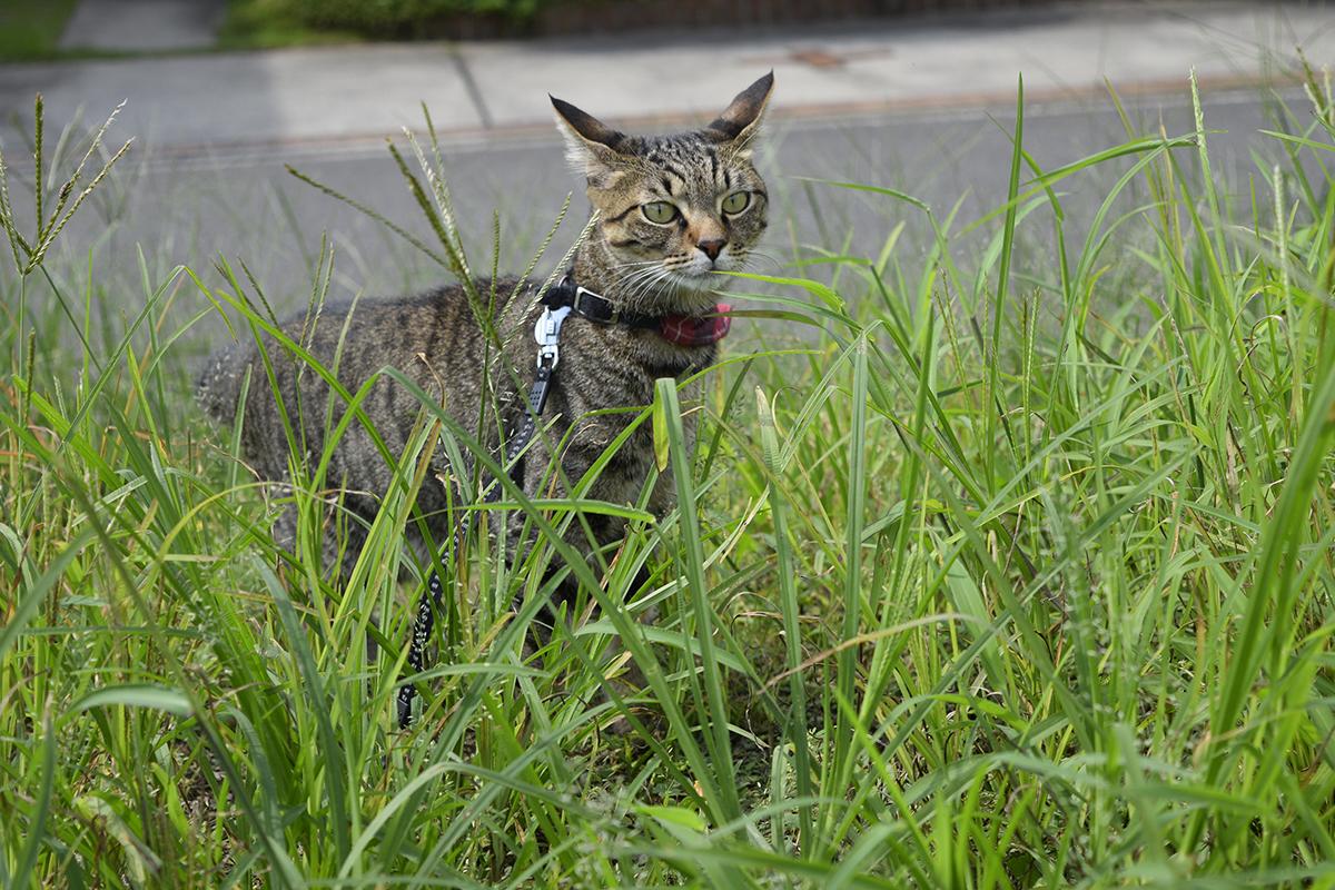 広場をチェックするキジトラ猫の虎ノ介