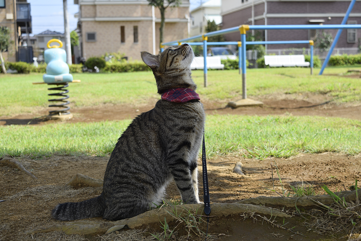 木の上のセミを見上げるキジトラ猫の虎ノ介