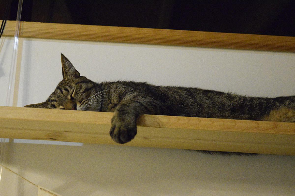 お部屋でくつろぐキジトラ猫の虎ノ介