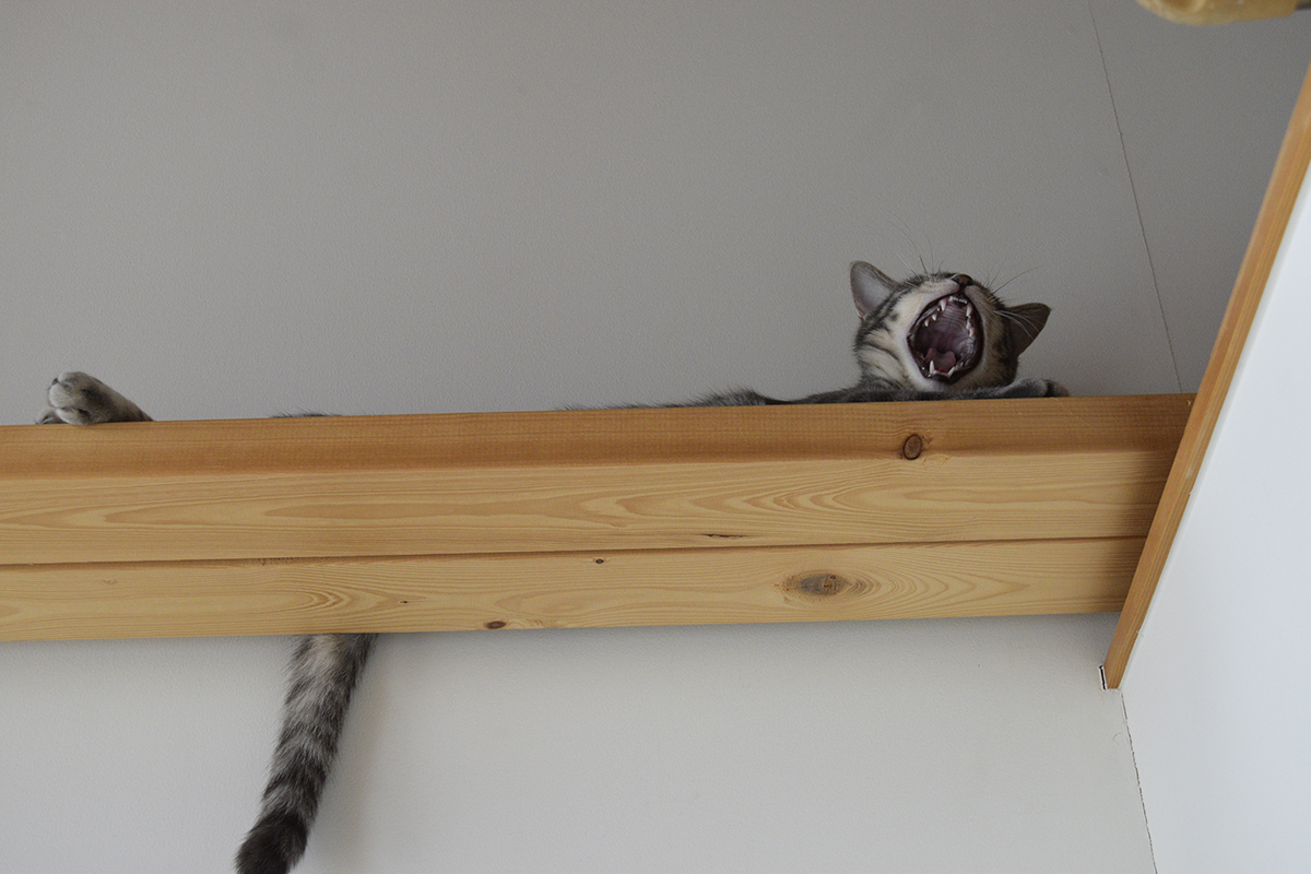 暇そうなサバトラ猫の春太