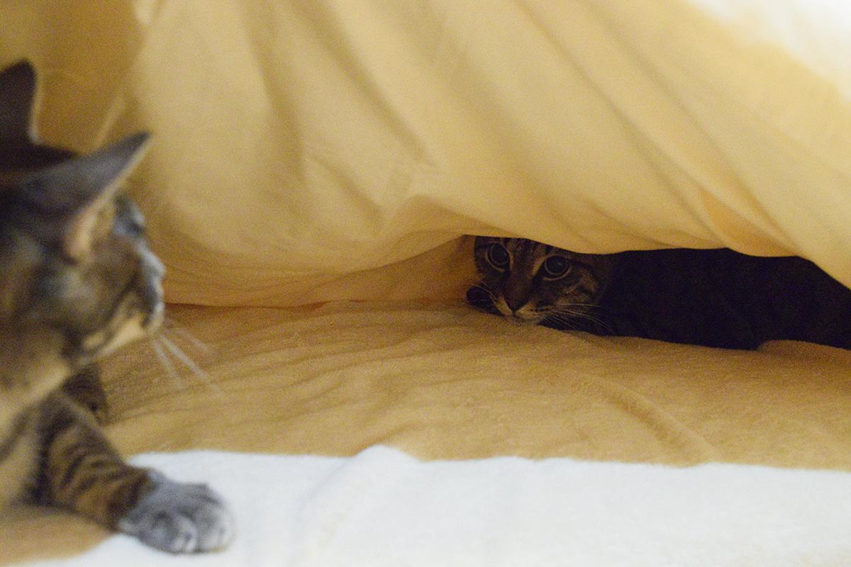 キジトラ猫の虎ノ介がいる布団にもぐって怒られるサバトラ猫の春太