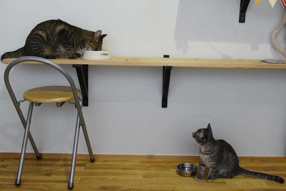 虎ノ介の食事をガン見するサバトラ猫の春太