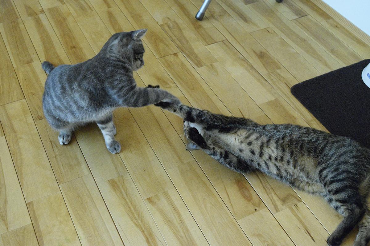 春太にちょっかいをかけるキジトラ猫の虎ノ介