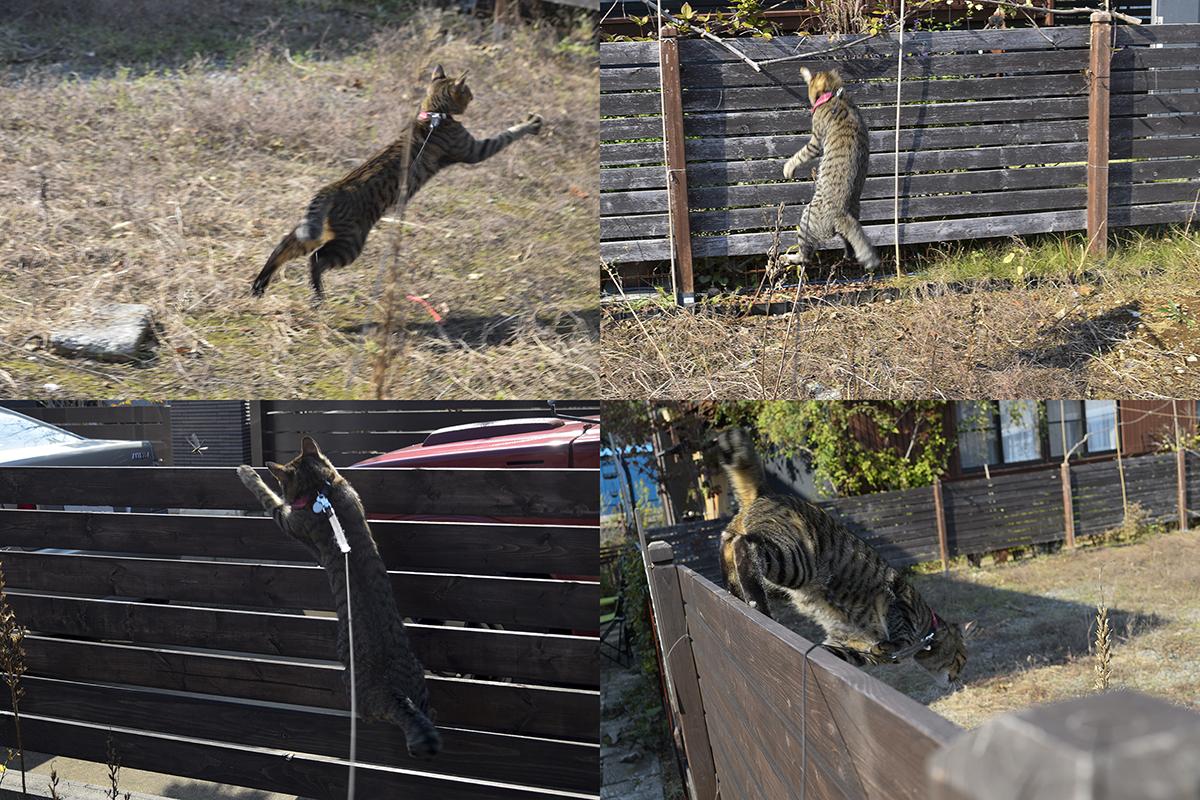 外で飛び跳ねまくるキジトラ猫の虎ノ介