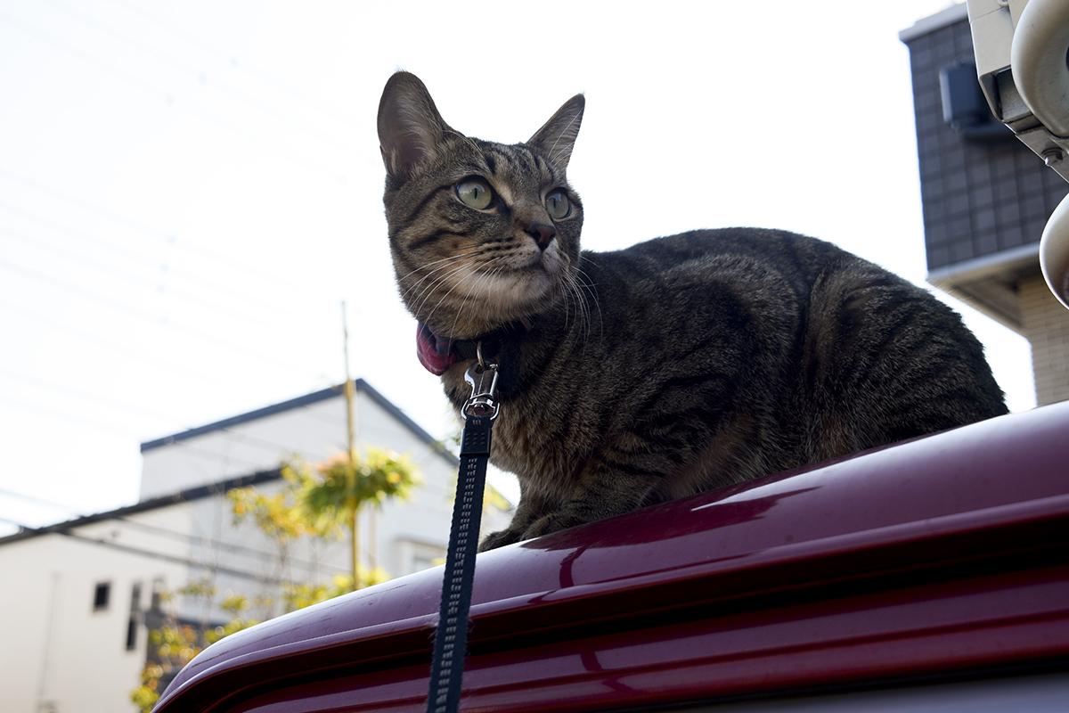 春太の鳴き声に反応するキジトラ猫の虎ノ介