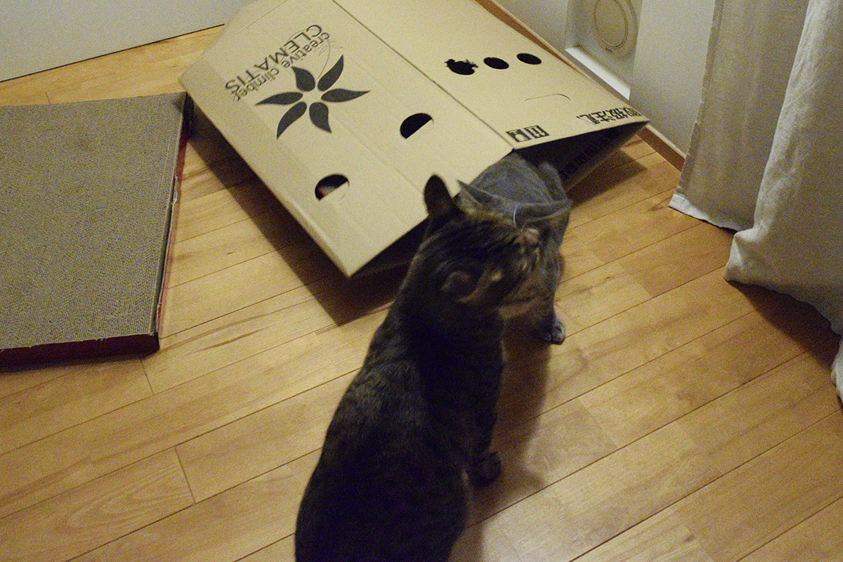 段ボールで遊ぶキジトラ猫の虎ノ介とサバトラ猫の春太