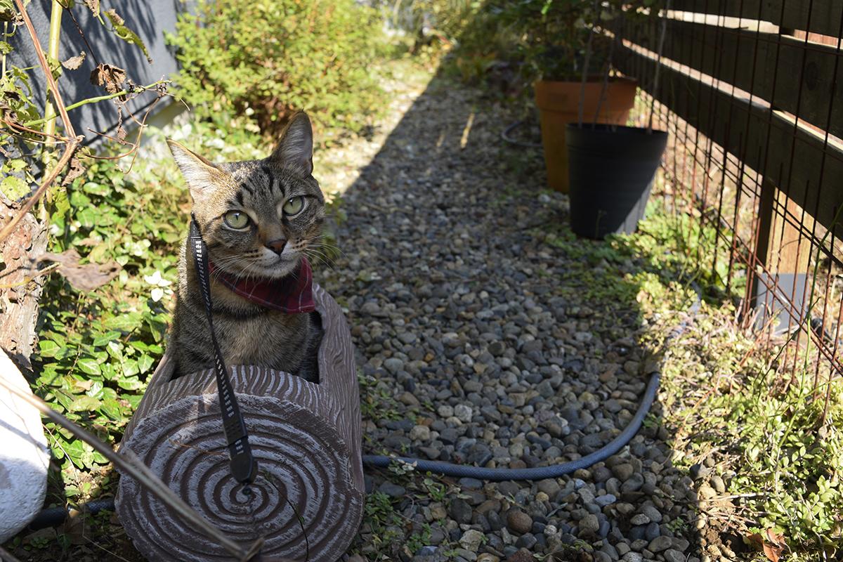 鉢の中にはいってくつろぐキジトラ猫の虎ノ介