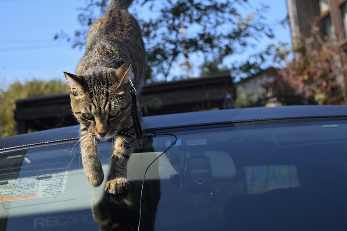 車の上からおりるキジトラ猫の虎ノ介