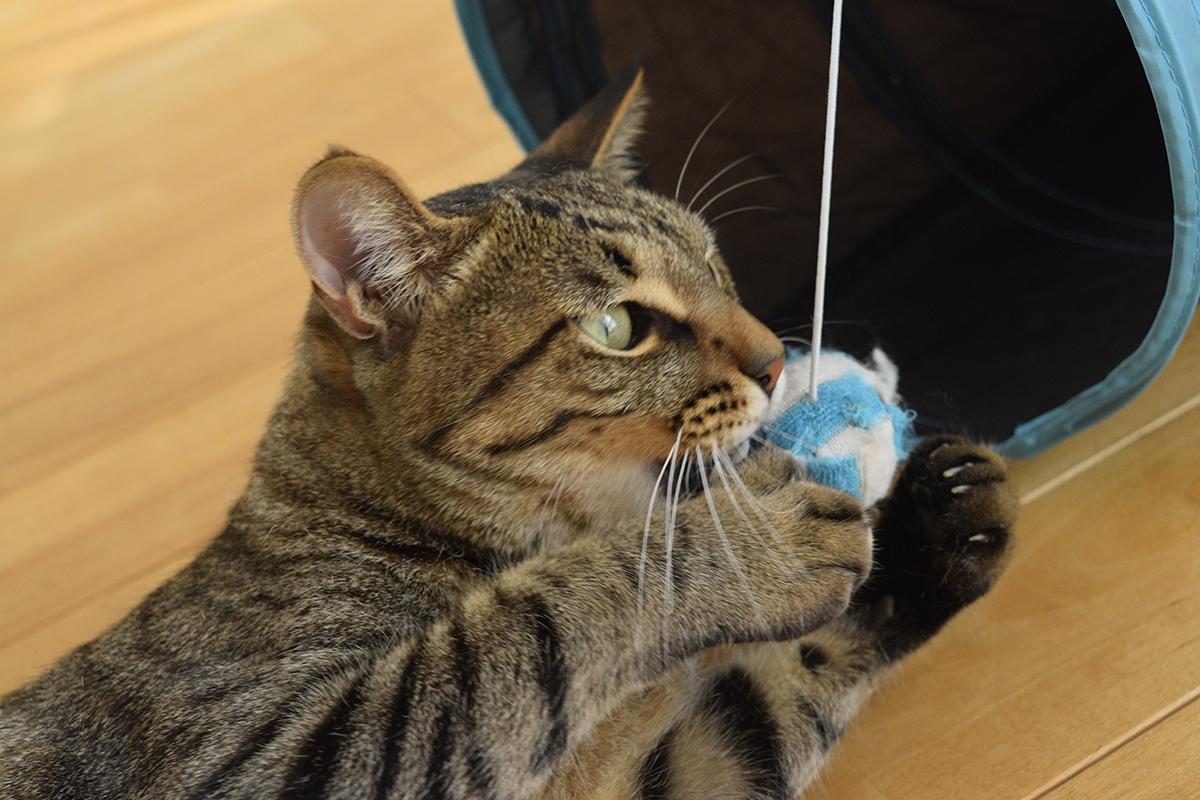 ブラッシング中に遊ぶキジトラ猫の虎ノ介