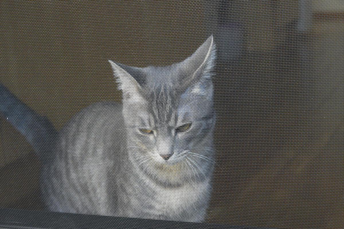 お散歩にでたキジトラ猫の虎ノ介をみるサバトラ猫の春太