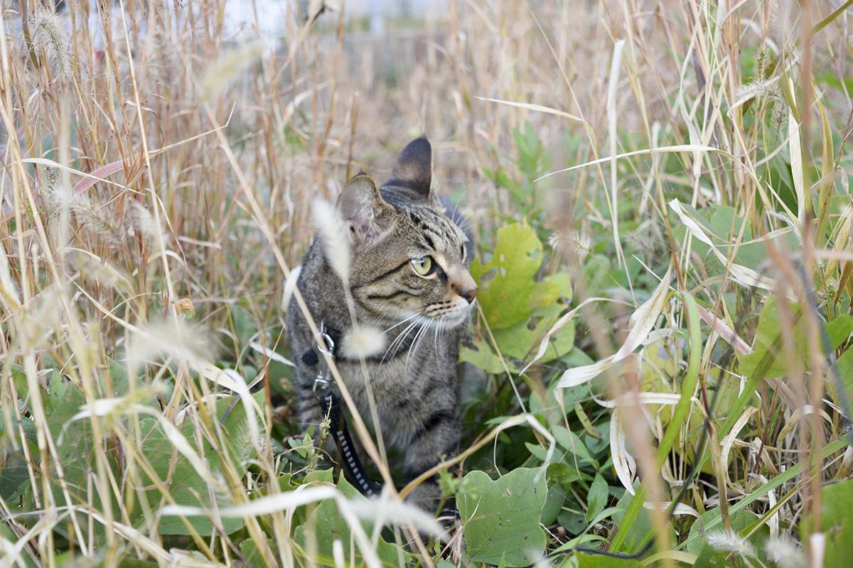 鳥を探すキジトラ猫の虎ノ介