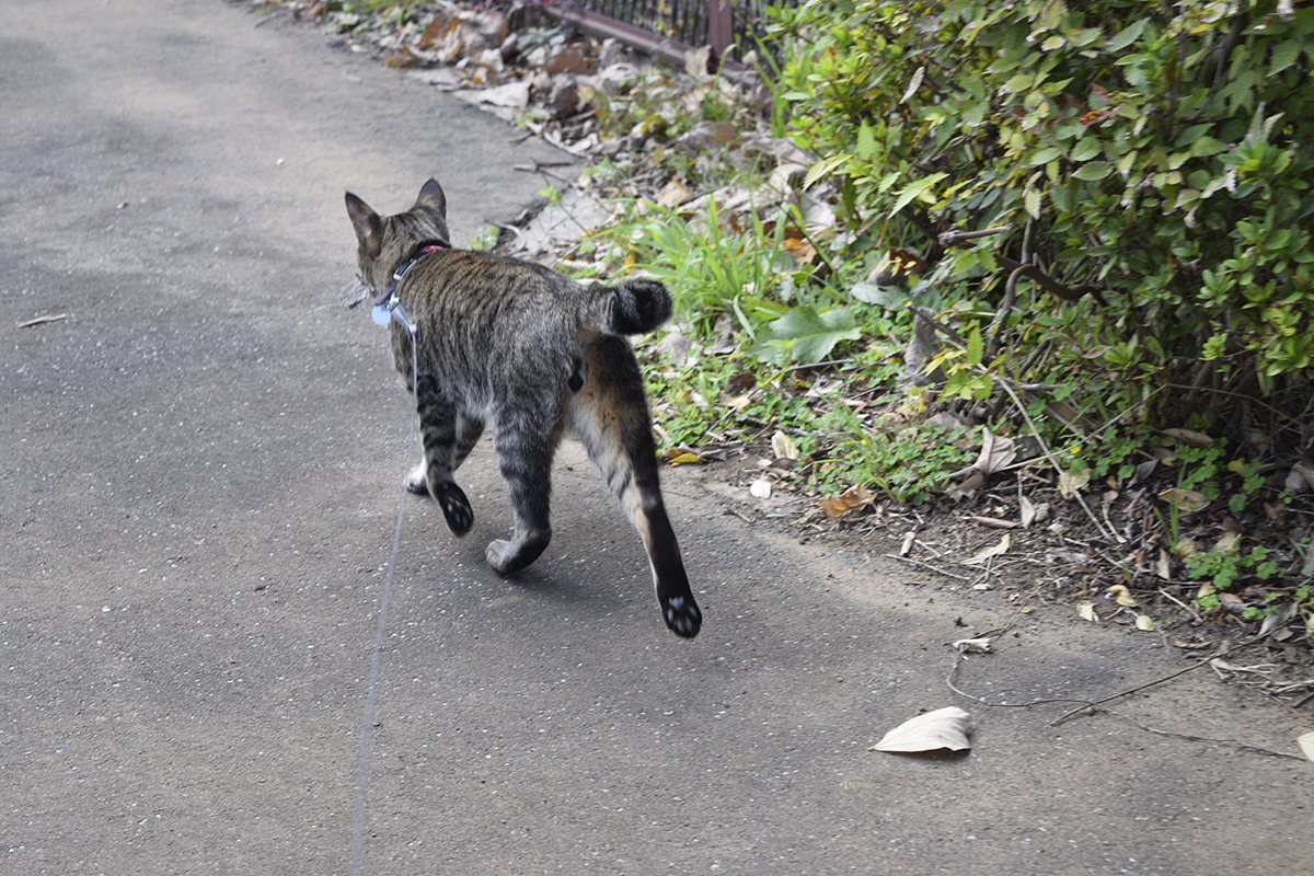 獲物を家まで運ぶキジトラ猫の虎ノ介