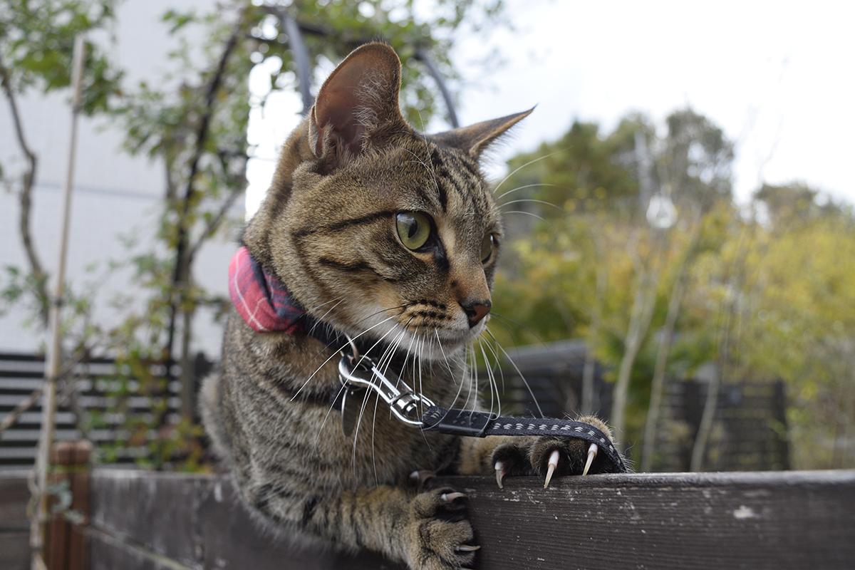 フェンスからずり落ちたキジトラ猫の虎ノ介