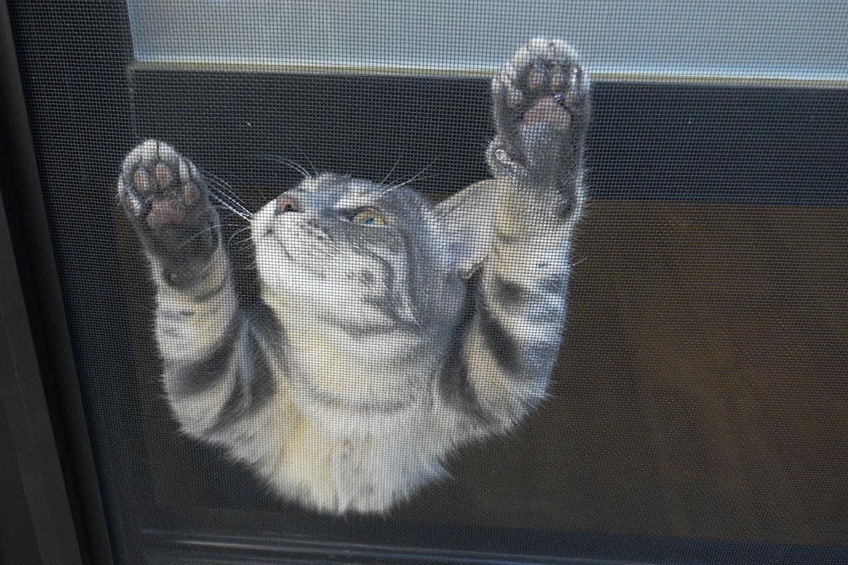 散歩中のキジトラ猫の虎ノ介をみつけて寄ってくるサバトラ猫の春太