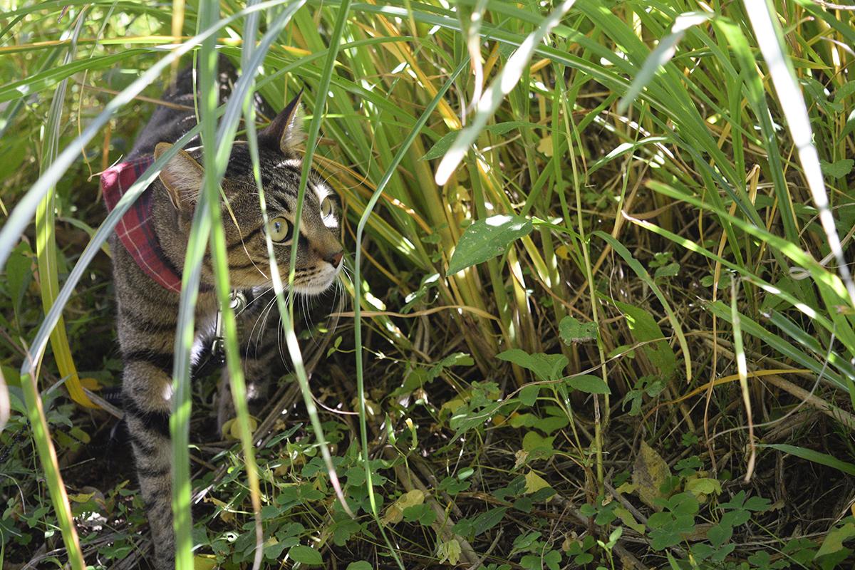 草むらで鳥を探すキジトラ猫の虎ノ介