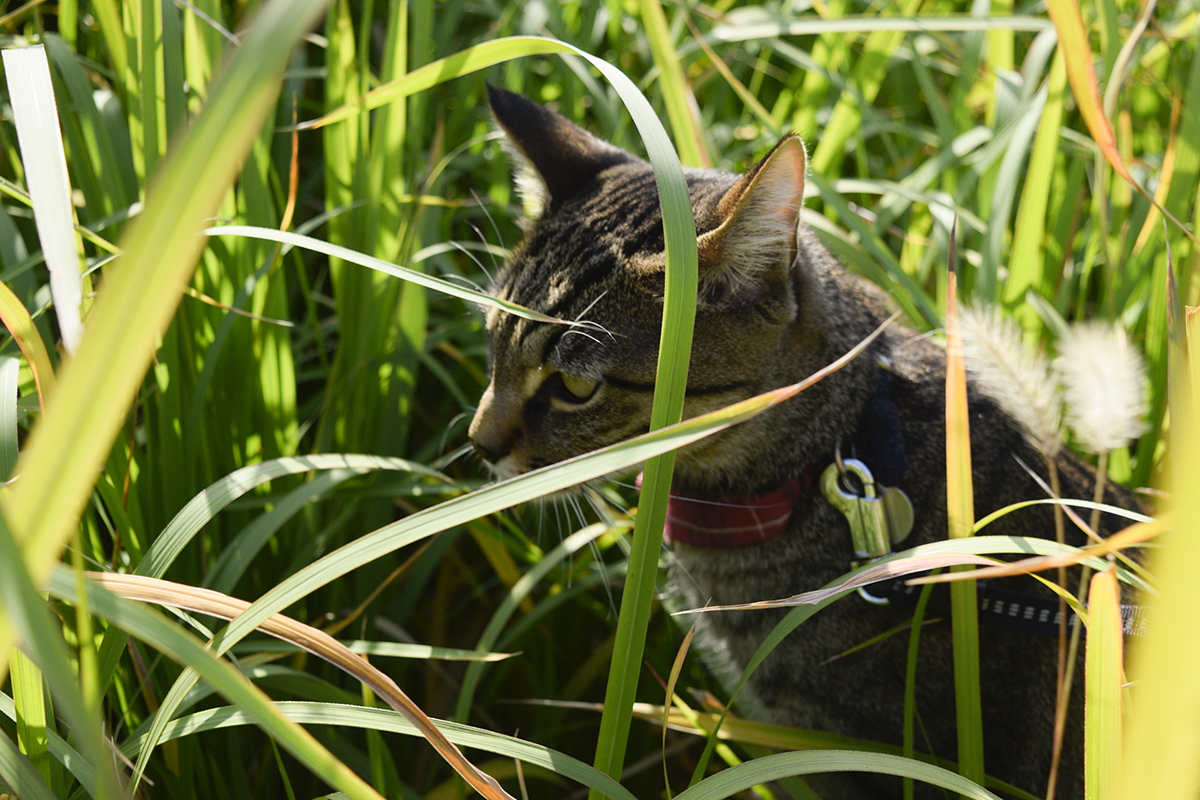 草むらを歩き回るキジトラ猫の虎ノ介