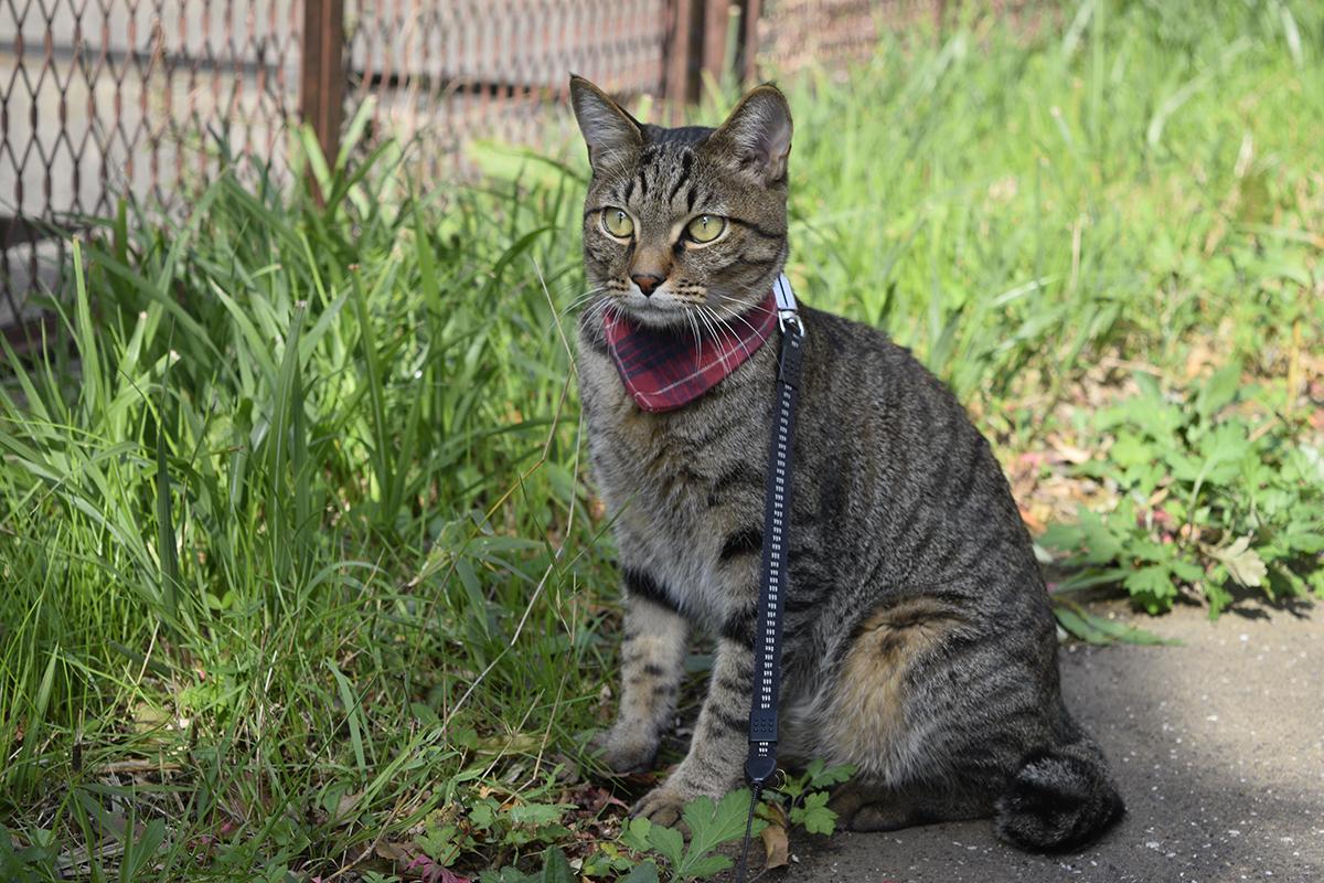 遊歩道から空を眺めるキジトラ猫の虎ノ介