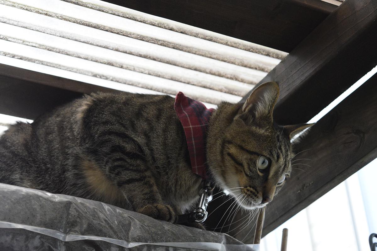 小屋に隠れて鳥を待つキジトラ猫の虎ノ介