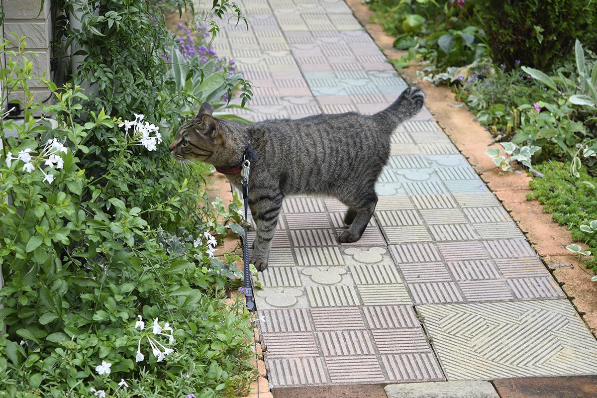 お隣さんの庭に侵入するキジトラ猫の虎ノ介