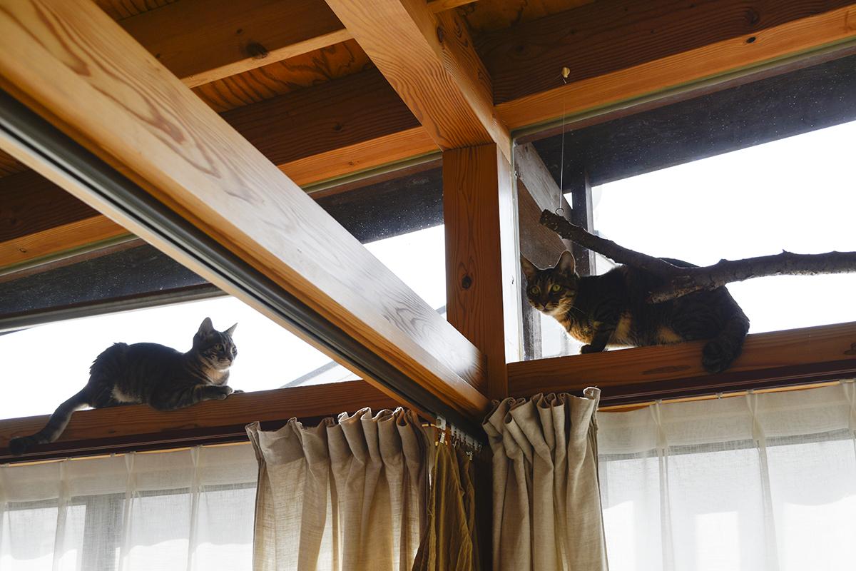 サバトラ猫の春太にまとわりつかれるキジトラ猫の虎ノ介
