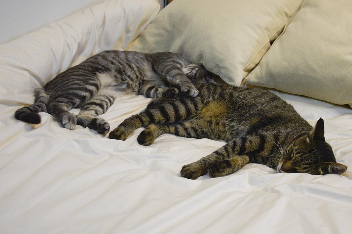 キジトラ猫の虎ノ介の横で寝始めるサバトラ猫の春太
