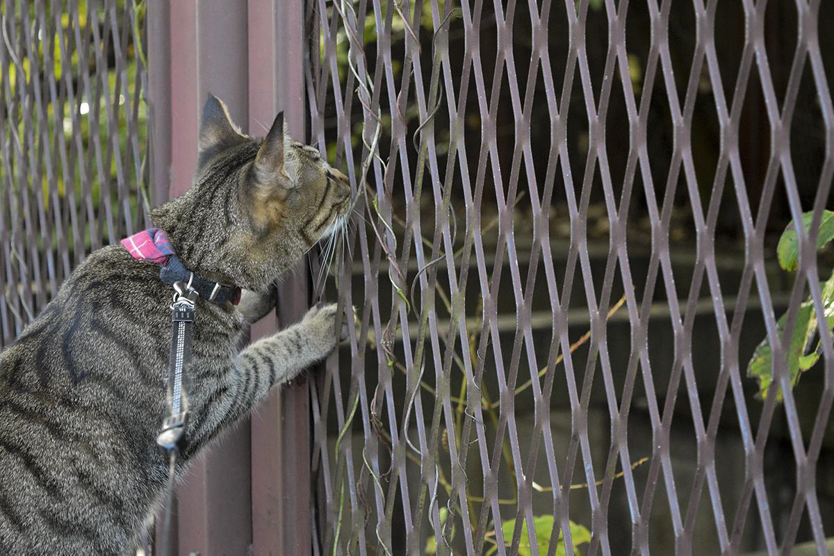 雨上がりの散歩を楽しむキジトラ猫の虎ノ介