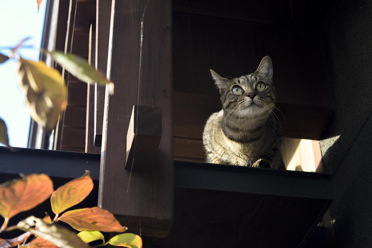 ベランダから脱走したキジトラ猫の虎ノ介