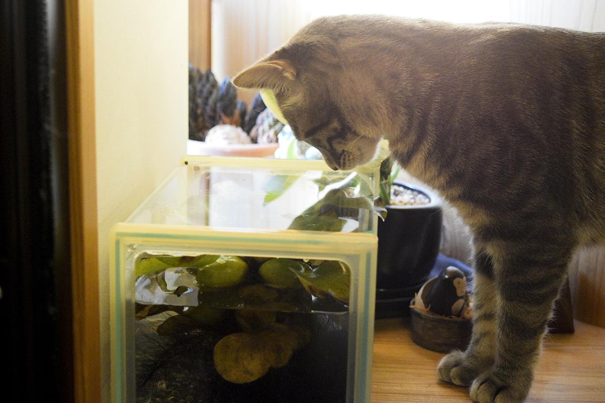 メダカを眺めるサバトラ猫の春太
