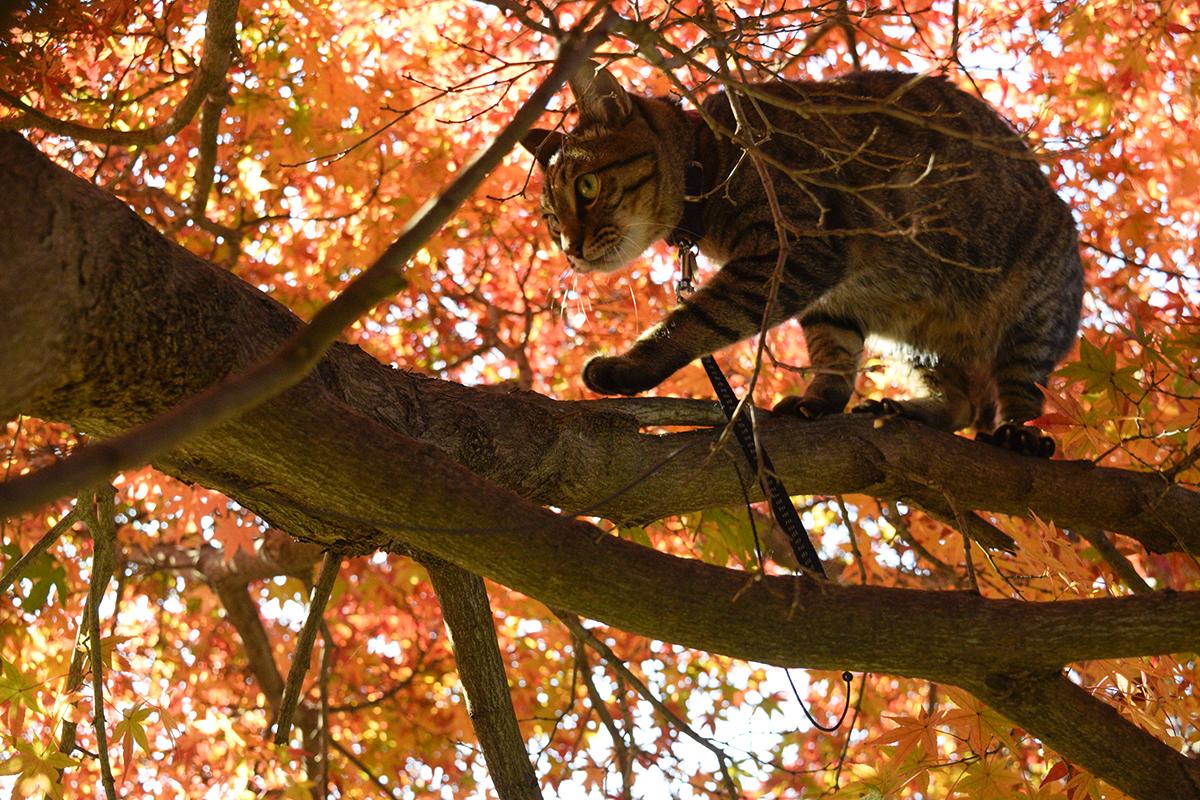 木登りを楽しむキジトラ猫の虎ノ介