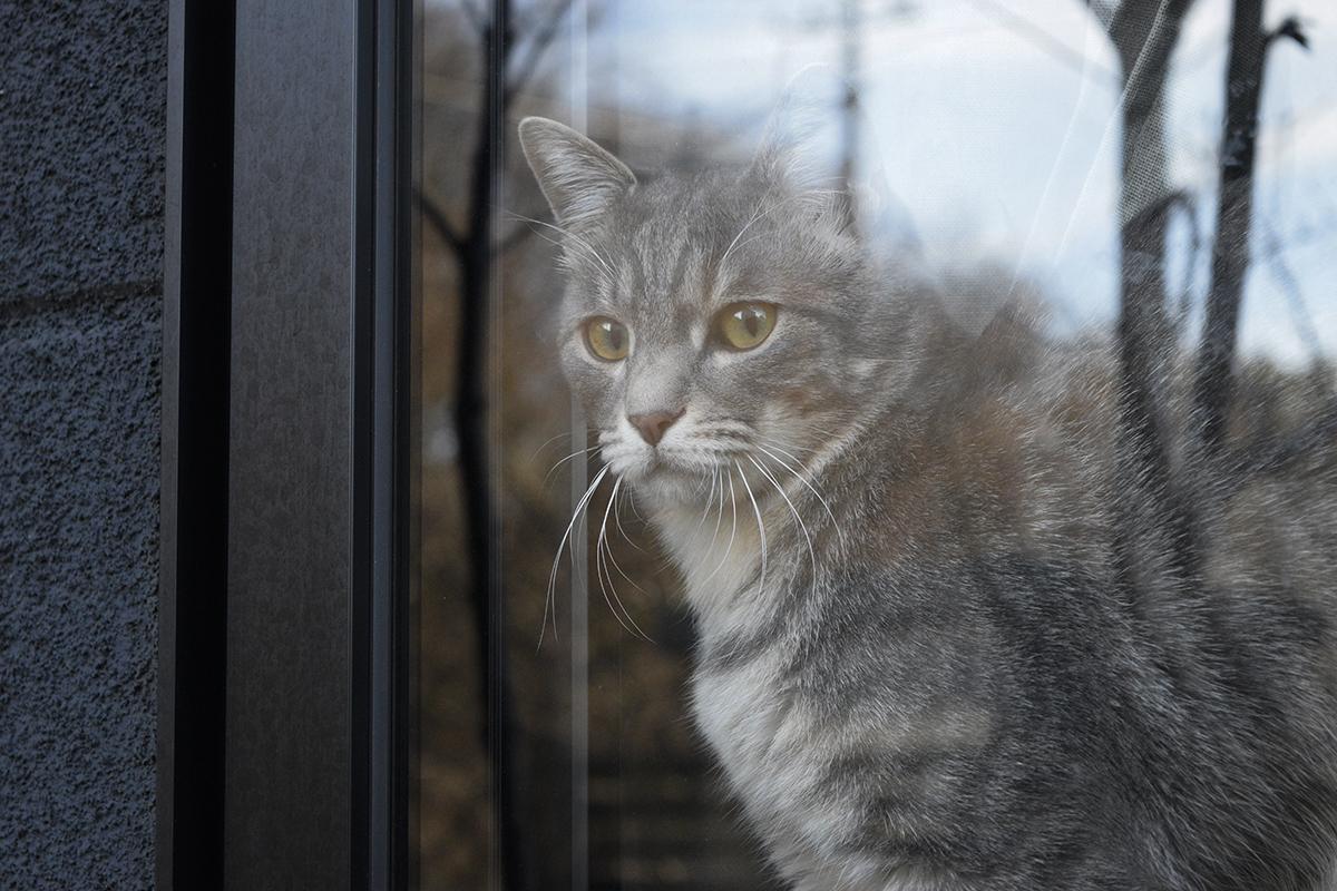 窓から虎ノ介の様子をうかがうサバトラ猫の春太