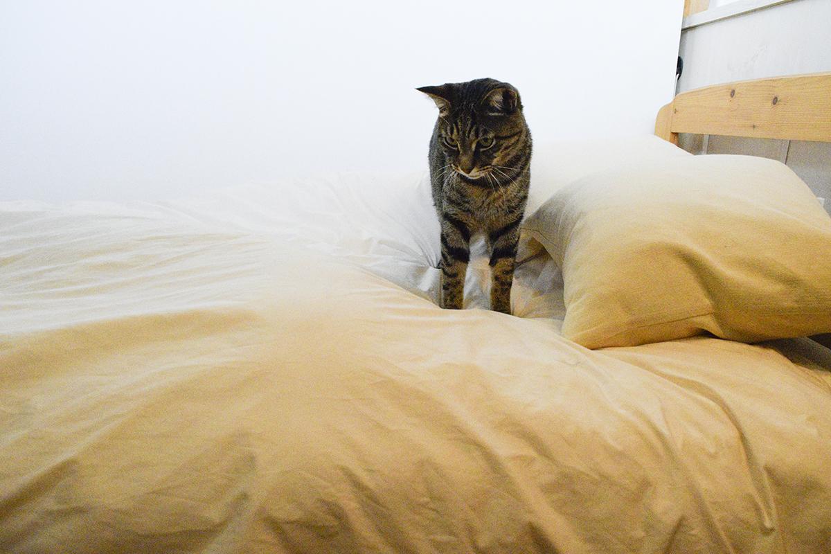 何かの気配を感じて起きるキジトラ猫の虎ノ介