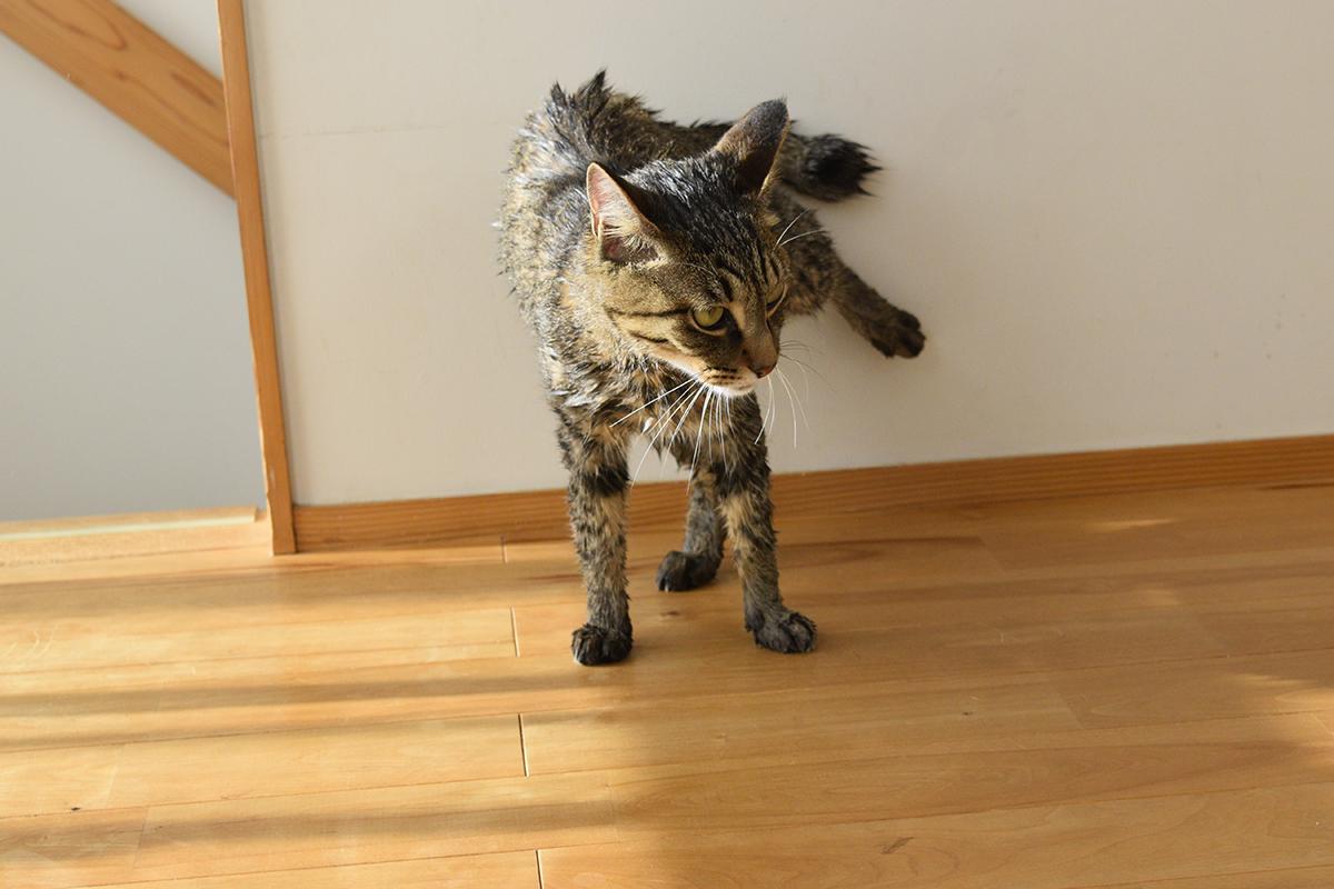 洗濯されたキジトラ猫の虎ノ介